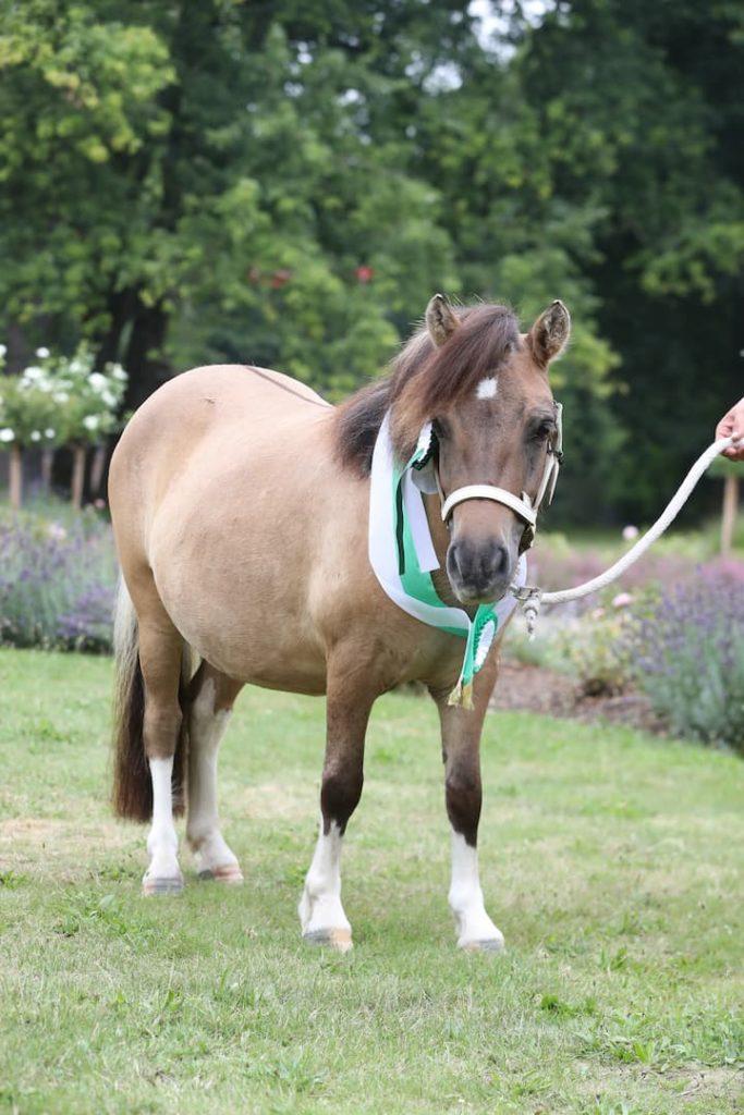 """Siegerstute Shetland Pony """"Charlotte vom Rindergraben"""""""